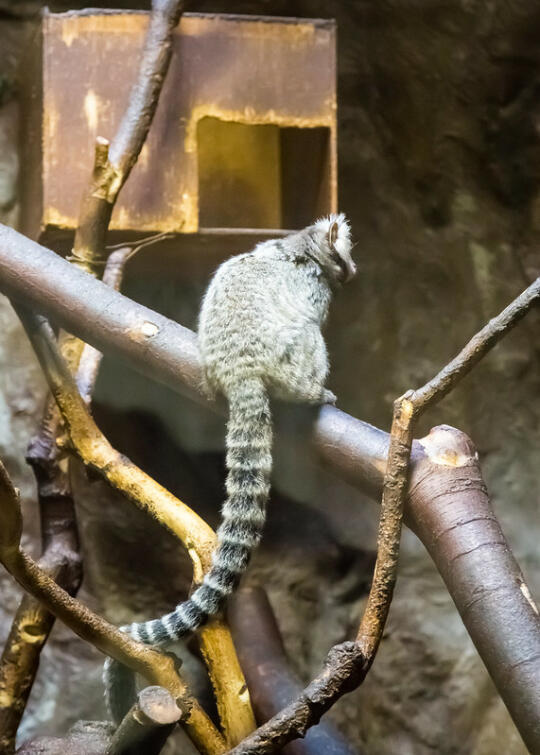 Ring-tailed something