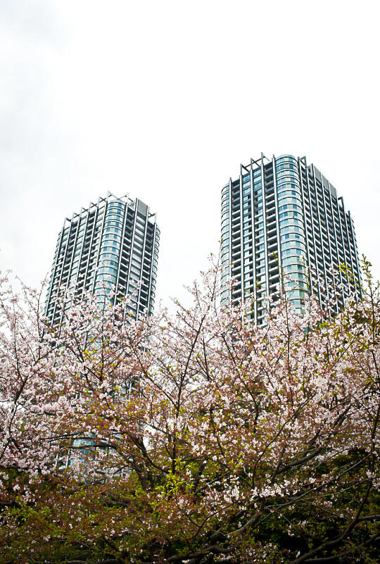 Cherry blossoms in the garden, with buildings