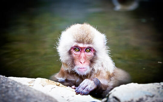 Monkey in a hot spring