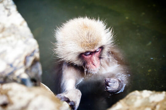 Lonely monkey grooming its arm in the pool