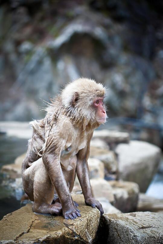 Wet monkey