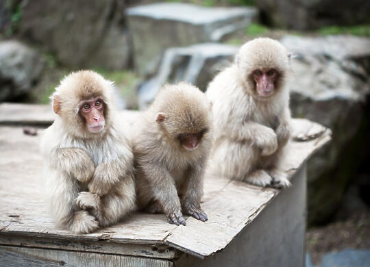 3 monkeys on box