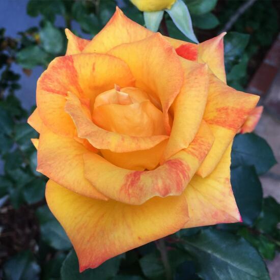 Orange-pink rose