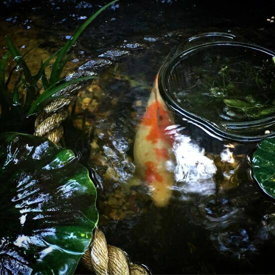 Koi in a pond